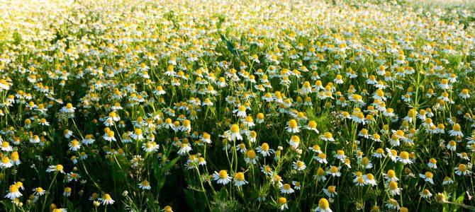 Nabiranje, gojenje, sušenje in shranjevanje zdravilnih rastlin