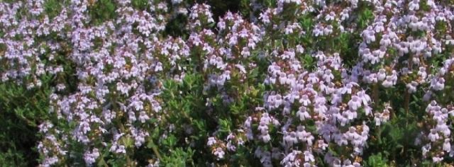 Vir: Thymus vulgaris 'Compactus'