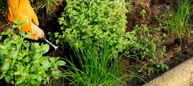 Top 10 zdravilnih rastlin na mojem vrtu – 2. del